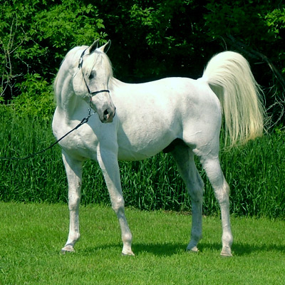 Animal facts arabian horses - Arabian horse pictures ...